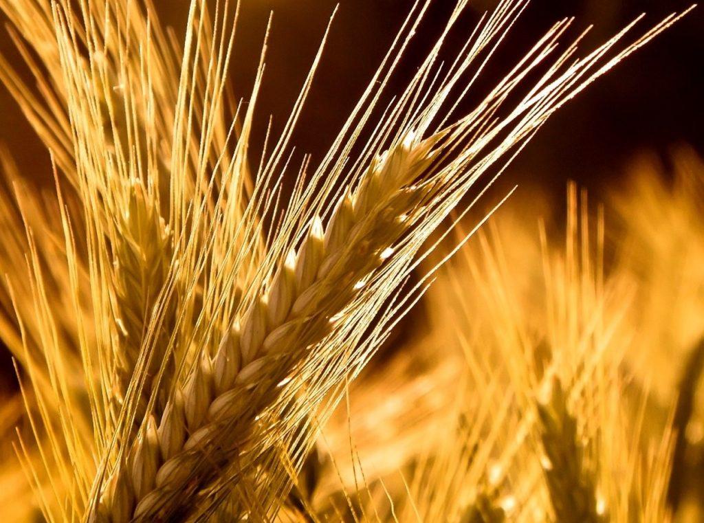 antiche tecniche di lavorazione del grano